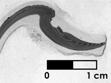 Anneaux de croissances de mollusque