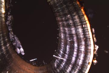 Anneaux de croissances d'une dents de phoque